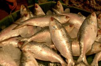 INDIA-HILSHA-FISH India Hilsha Fish on the market at Kolkata in Eastern India ----- WN/BHASKAR MALLICK